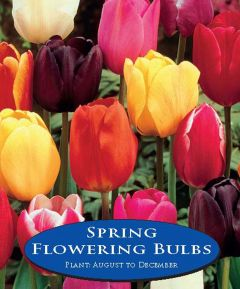 Tulip Single Early Mix - 15 Pack